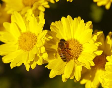 http://bnelsonphotos.com/gallery/41/thumbs/Bee%20on%20Chrysanthemum.jpg