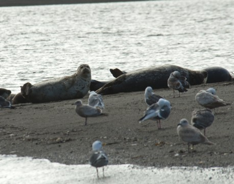 http://bnelsonphotos.com/gallery/41/thumbs/Harbor%20Seals%20at%20Jenner.jpg