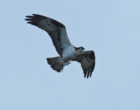 http://bnelsonphotos.com/gallery/41/thumbs/Osprey%20with%20catch2.jpg